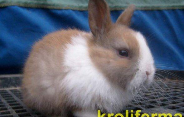Декоративные кролики фото и