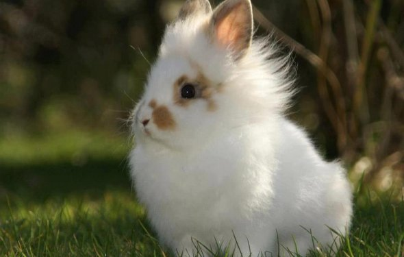 Декоративные кролики, порода