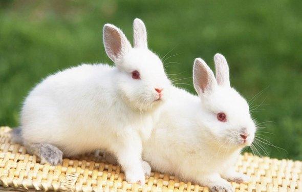 за декоративными кроликами