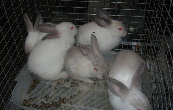 Как разводить кроликов в