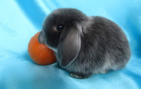 Карликовые кролики фото цена