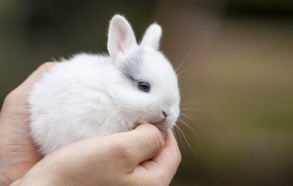 Карликовые кролики: содержание