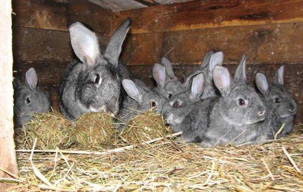 Кормление кроликов в домашних