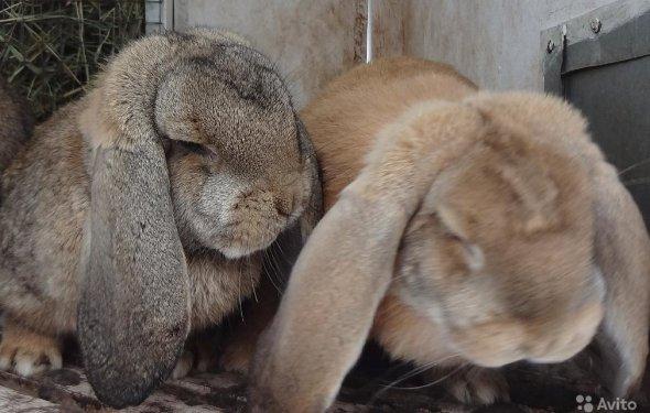 Кролики бараны — фотография №1