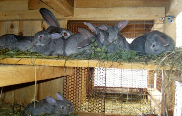 Кролики для разведения и на
