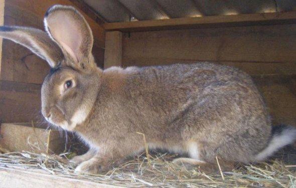 Кролик породы Фландр - самый