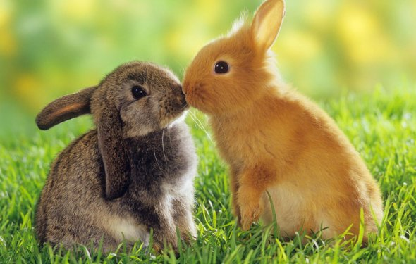 Обои Маленький рыжий кролик»