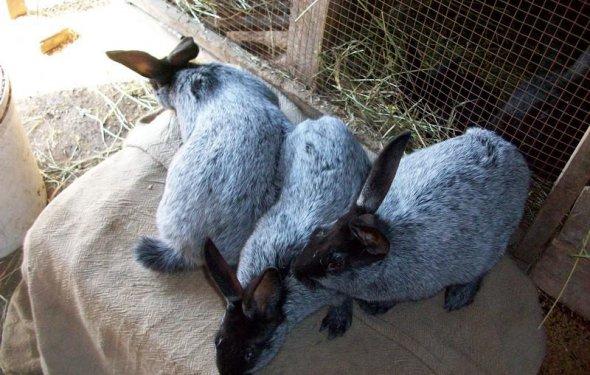 Кролики пород Серебристый и