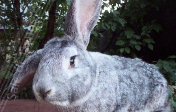 Самые крупные кролики фото