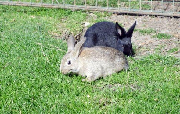 «Как содержать кроликов?